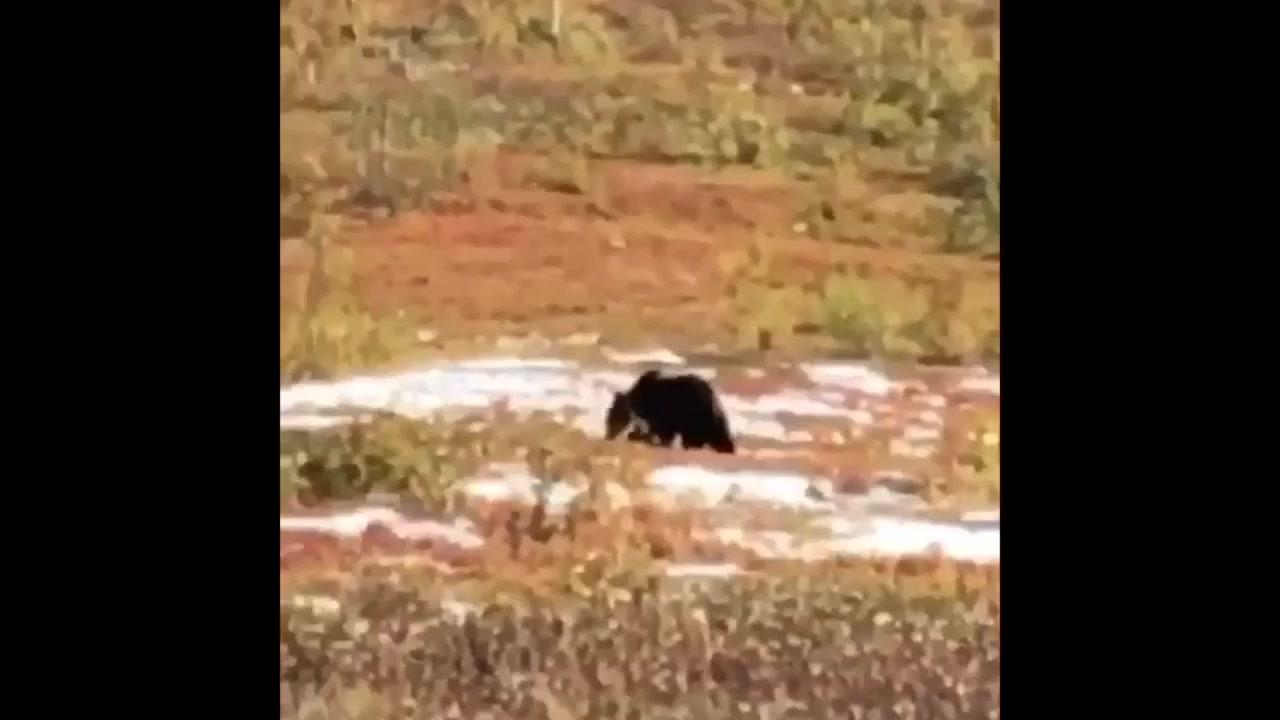 Se video av bjørnen
